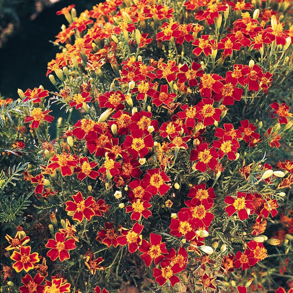 Фото и названия засухоустойчивых цветов