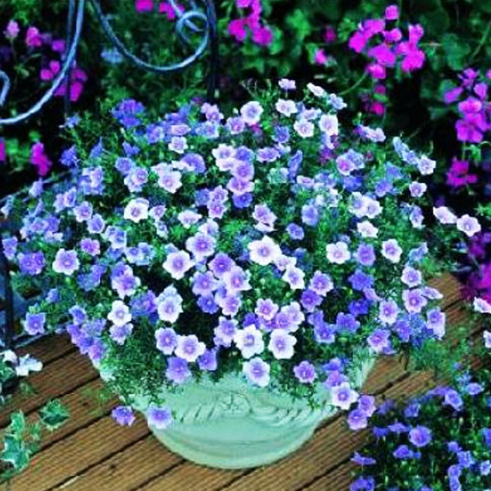 Нирембергия цветка