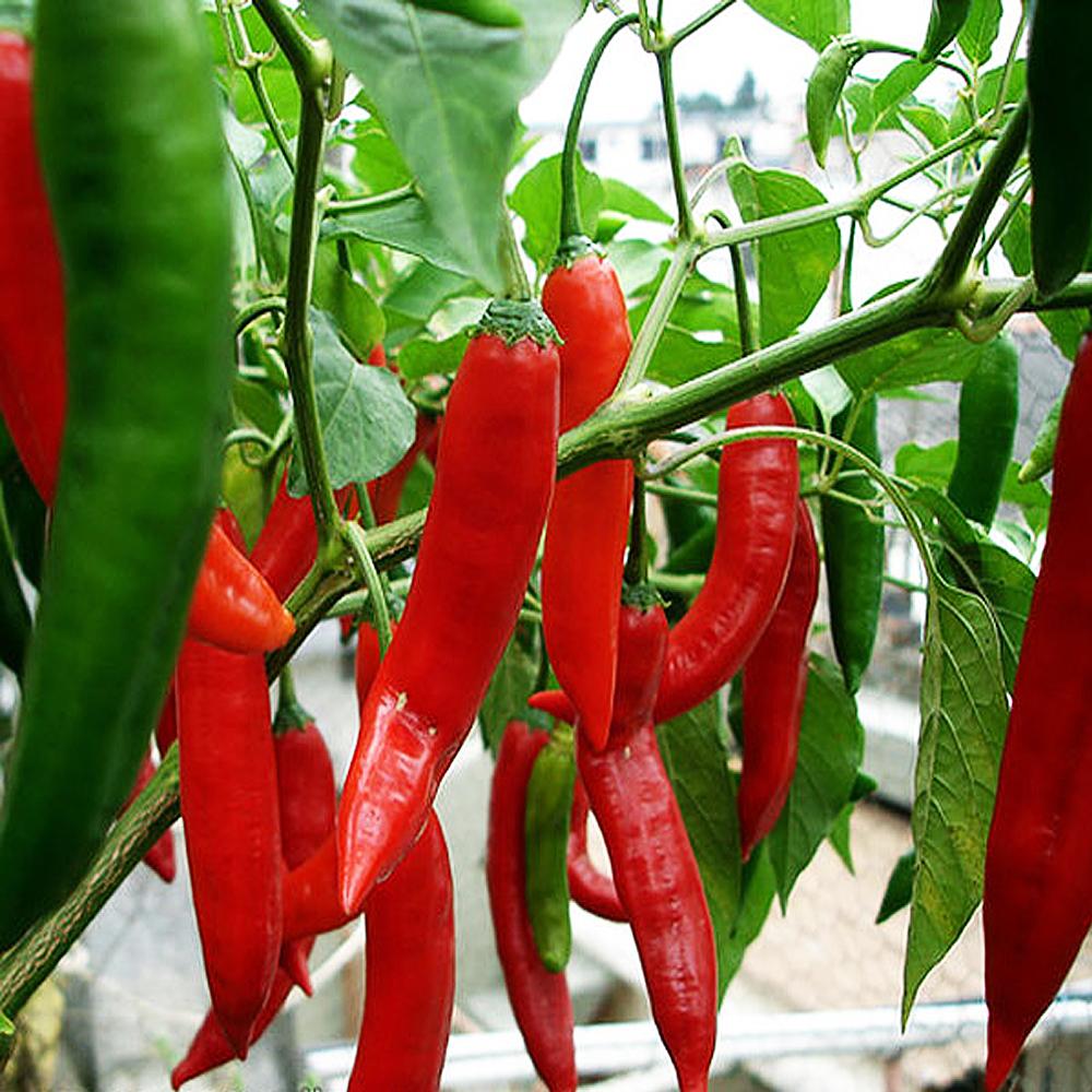 Как вырастить кайенский перец в домашних условиях