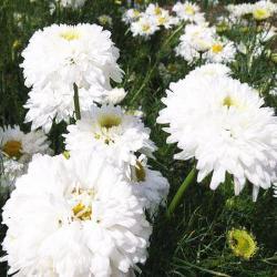 Хризантема махровая платье невесты выращивание 21